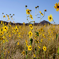 Wildflowers bloom in the meadows on Red Rock Park in Gallup Thursday.