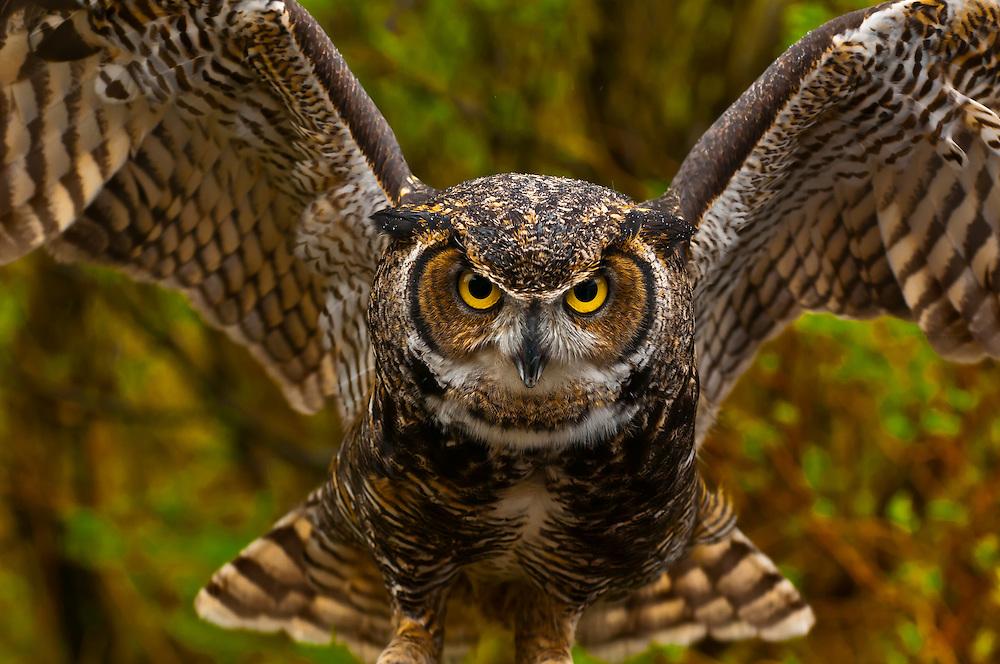 Great horned owl (Bubo virginianus), Alaska Wildlife Foundation, Ketchikan, Alaska USA