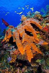 Brown Encrusting Octopus Sponge or Brown Volcano Sponge, Ectyoplasia ferox, West End, Grand Bahamas, Caribbean, Atlantic Ocean