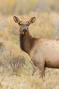 Cow elk or wapiti in autumn Cow elk in early autumn