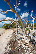 Dead sunbleached tree, Islamorada, Florida Keys, United States of America