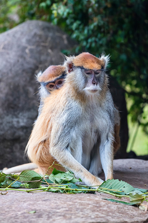 A captive patas monkey (Erythrocebus patas) gets a back rub from another. Patas monkeys are social monkeys that are found in semi-arid areas of West Africa into East Africa. They are considered the fastest primate on earth, capable of running at speeds up to 55 kilometers (34 miles) per hour.