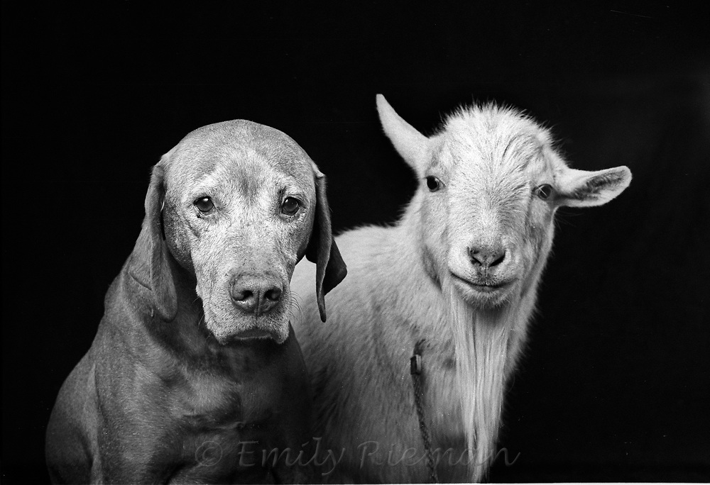 Portrait of dog and goat shot on black and white film.