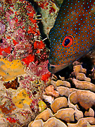 The Coney (Cephalopholis fulva) is found from Bermuda and South Carolina to southern Brazil, including the Gulf of Mexico and Atol das Rocas.  They are common in the Caribbean and less common in southern Florida and the Bahamas. <br /> <br /> The Coney weighs about a pound (0.5 kg), although occasionally it can weigh as much as 3 pounds (1.4 kg). Their average length is 6 to 10 inches (15-25 cm), with a maximum length of 16 inches (41 cm).  Coney's feed primarily on small fish and crustaceans. <br /> <br /> As with many other groupers, the females transform into males when they reach about 8 inches (20 cm). The Coney also has many color phases including a common phase shown here, a bicolor phase in which the upper body is dark and the lower body is pale, and a bright yellow phase with few spots.