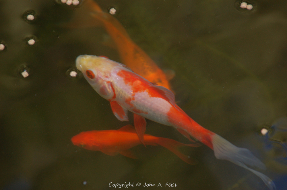 Three of the carp in our friends' pond in Flagtown, NJ as the have dinner.