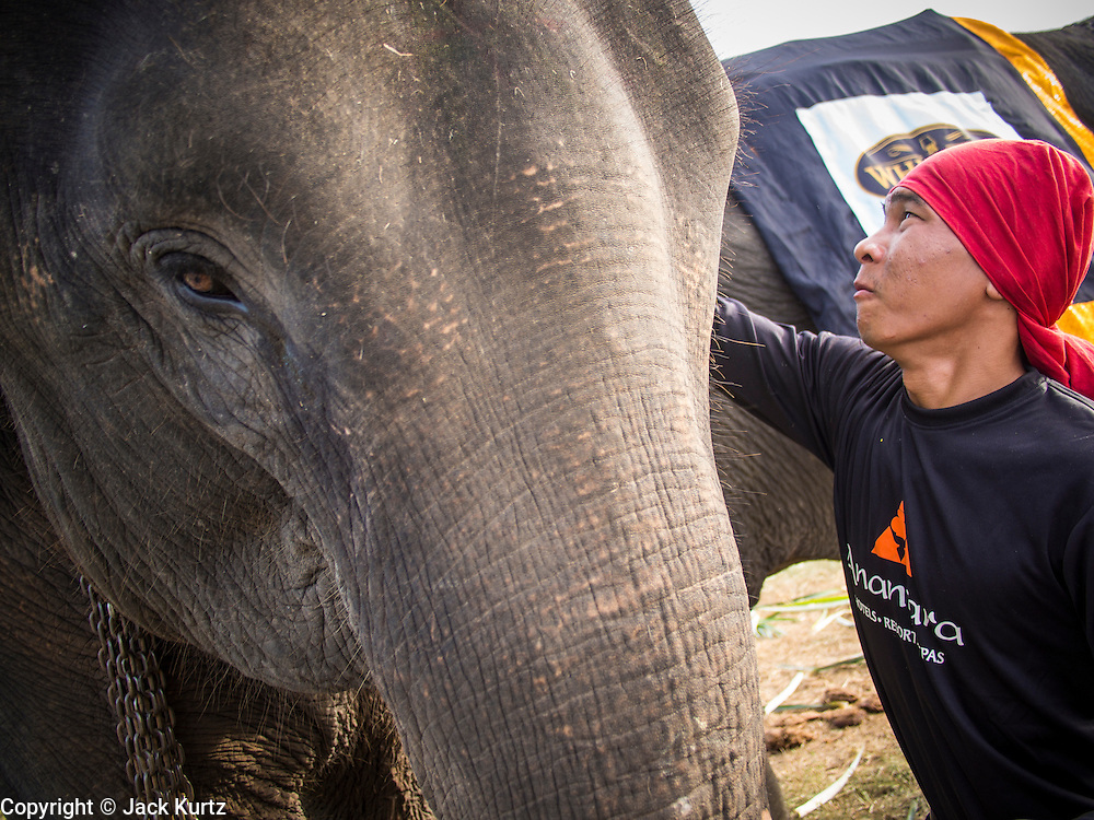 """29 AUGUST 2013 - HUA HIN, PRACHUAP KHIRI KHAN, THAILAND: A mahout (elephant handler) gets his elephant ready to play polo at the King's Cup Elephant Polo Tournament in Hua Hin. The tournament's primary sponsor in Anantara Resorts and the tournament is hosted by Anantara Hua Hin. This is the 12th year for the King's Cup Elephant Polo Tournament. The sport of elephant polo started in Nepal in 1982. Proceeds from the King's Cup tournament goes to help rehabilitate elephants rescued from abuse. Each team has three players and three elephants. Matches take place on a pitch (field) 80 meters by 48 meters using standard polo balls. The game is divided into two 7 minute """"chukkas"""" or halves. There are 16 teams in this year's tournament, including one team of transgendered """"ladyboys.""""    PHOTO BY JACK KURTZ"""