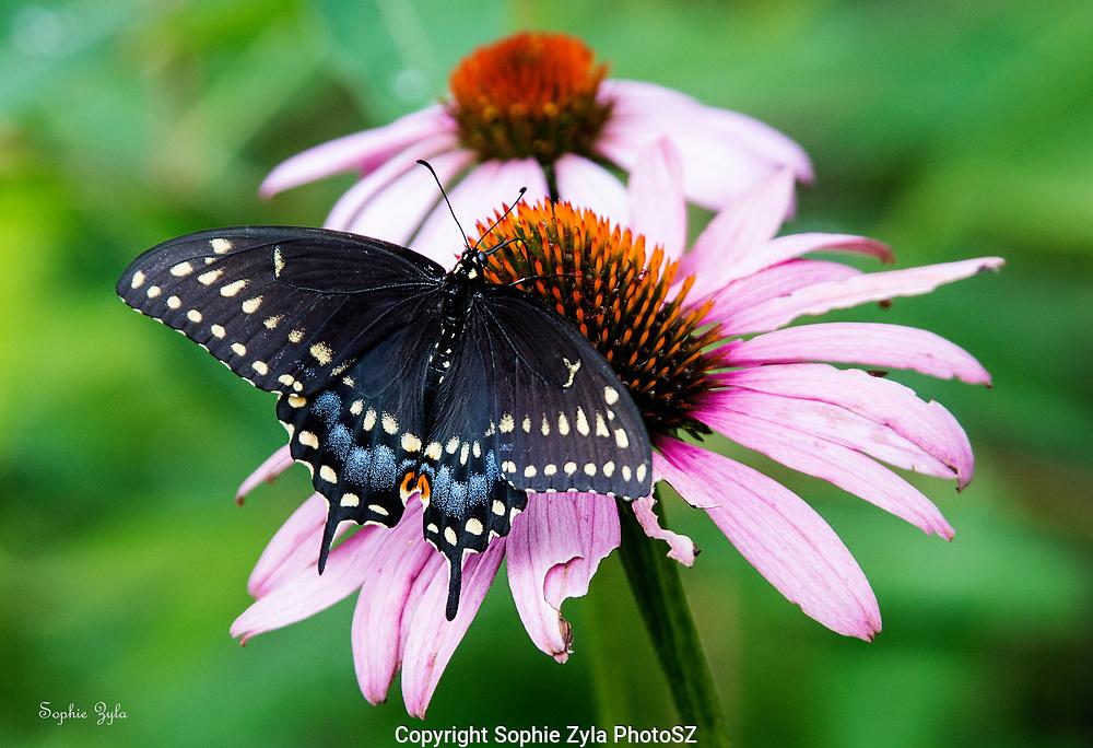 Black Swallowtail on Coneflower