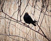 Eurasian Blackbird (Turdus merula). Antwerp, Belgium. Image taken with a Nikon N1V2 camera and 10-100 mm VR lens.