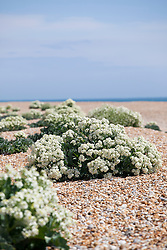Sea Kale growing wild on the beach at Dungeness. Crambe maritima
