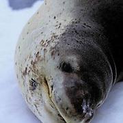 Leopard Seal, (Hydrurga leptonyx) Portrait. Laying on ice floe on Antarctica Peninsula.