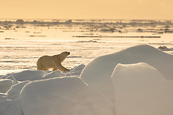 Polar bear (Ursus maritimus) on sea ice, in Hinlopen, Spitsbergen, Svalbard, Norway