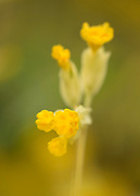 Cowslip, Primula veris, Monkton Nature Reserve, Kent, UK