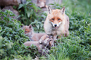 Red fox cub begging for foodfrom vixen outside den