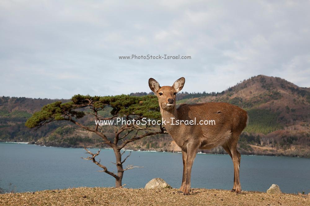 Sika deer (Cervus nippon), also known as the spotted deer or the Japanese deer, Kinkazan Island, Japan