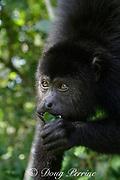 black howler monkey, Alouatta pigra, munching a leaf, Endangered Species, Community Baboon Sanctuary, Bermudian Landing, Belize, Central America