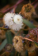 Eucalyptus tree flowers and seeds found on the coast of Big Sur