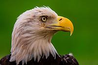 Bald eagle, Nature's Educators, which cares for non releasable birds of prey, Sedalia, Colorado USA.