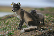 22: SVALBARD FOX PUPS