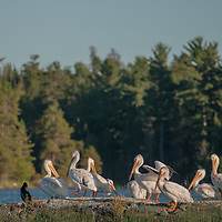 American white pelicans (Pelecanus erythrorhynchos) perch on a rock in Lake of the Woods, Ontario, Canada.