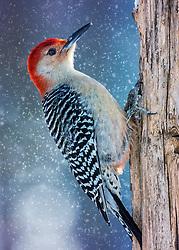 A Red-Bellied Woodpecker On A Tree Trunk