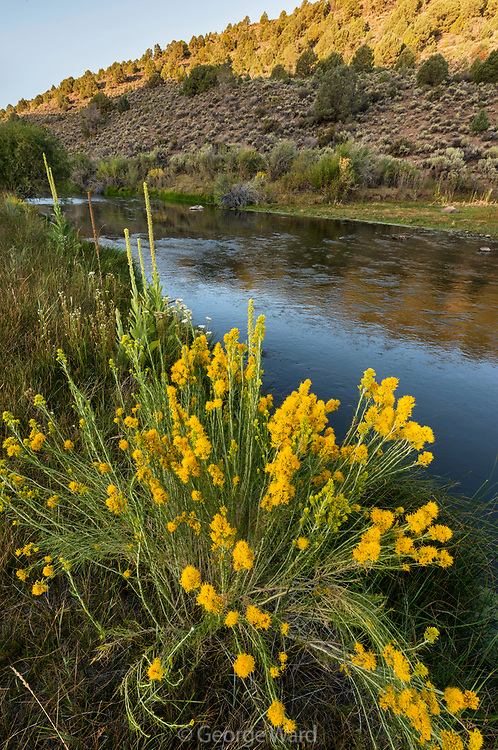 Gray Rabbitbrush and the East Walker River, Toiyabe National Forest, Mono County, California