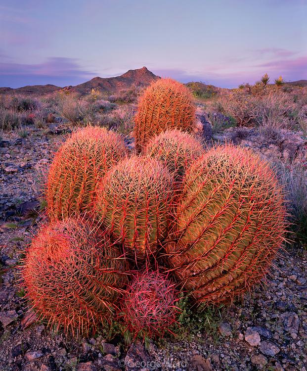 Barrel Cactus Grouping at last Light, Mojave National Preserve, California