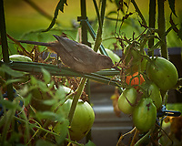 Grey Catbird pecking at my tomatoes. Image taken with a Nikon Df camera and 70-300 mm VR telephoto zoom lens (ISO 450, 300 mm, f/5.6, 1/320 sec).