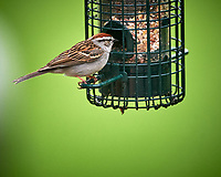Chipping Sparrow. Image taken with a Nikon D4 camera and 600 mm f/4 VR lens
