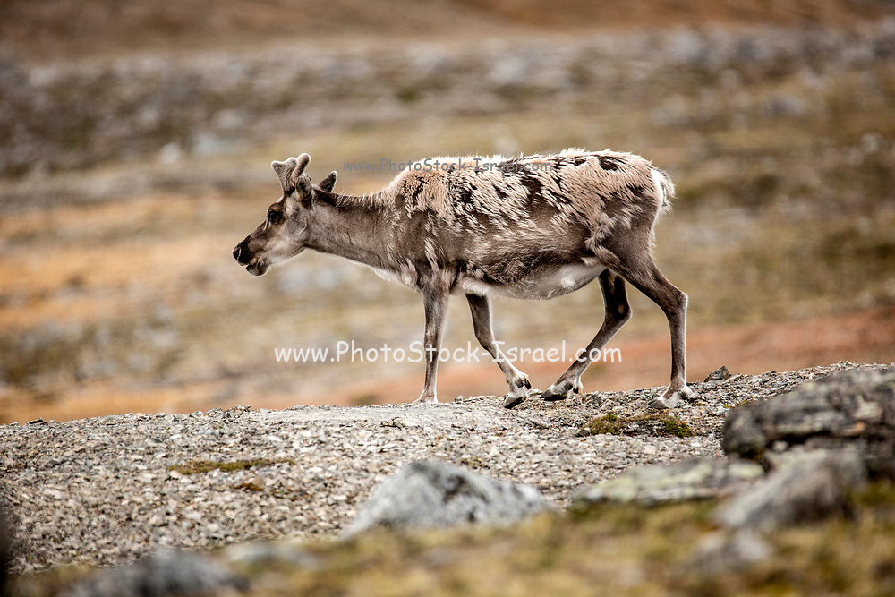 A male Svalbard Reindeer (Rangifer tarandus) moulting in summer with his antlers still in velvet. This herbivorous mammal is the smallest subspecies of reindeer. It lives for approximately nine years and is endemic to the islands of Svalbard. Photographed in Longyearbyen, Svalbard. in July