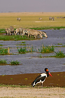 A saddle-billed stork with zebras drinking in background, Amboseli National Park, Kenya