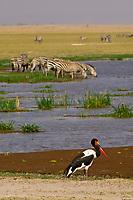 A saddle-billed stork with zebras drinking in background, Amboseli National Park, Kenya