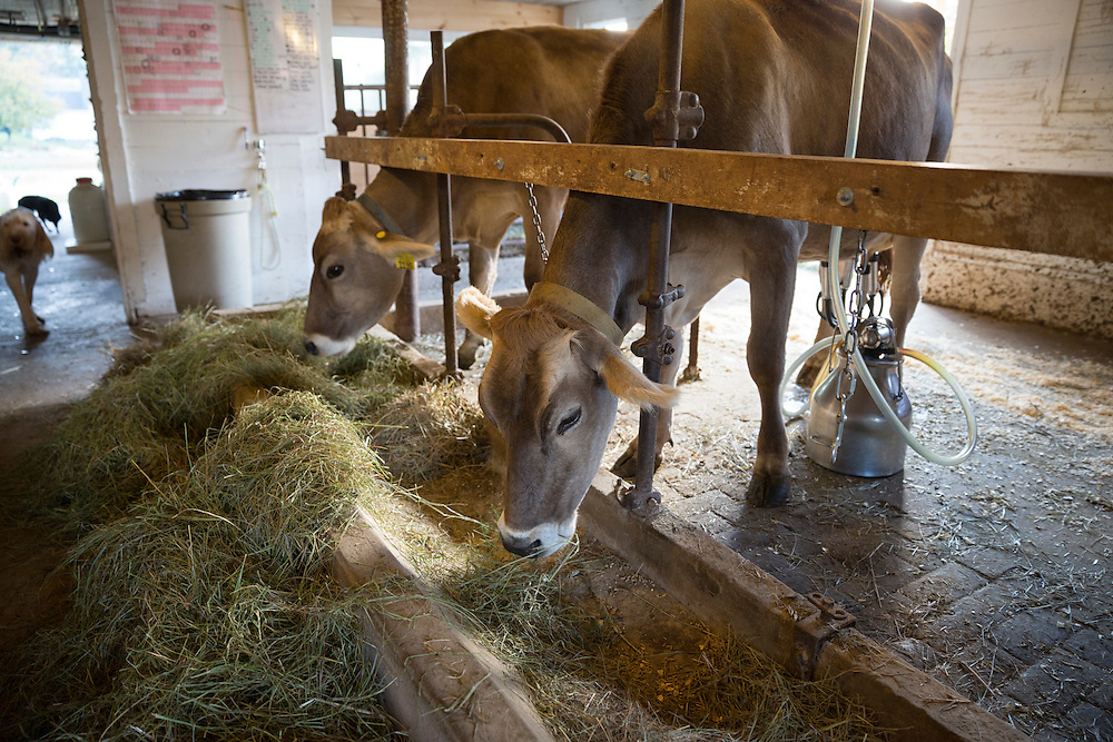 Cows being milked in a small dairy