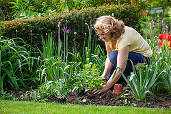 Planting salvias in front of alliums  in a border to disguise their dying foliage