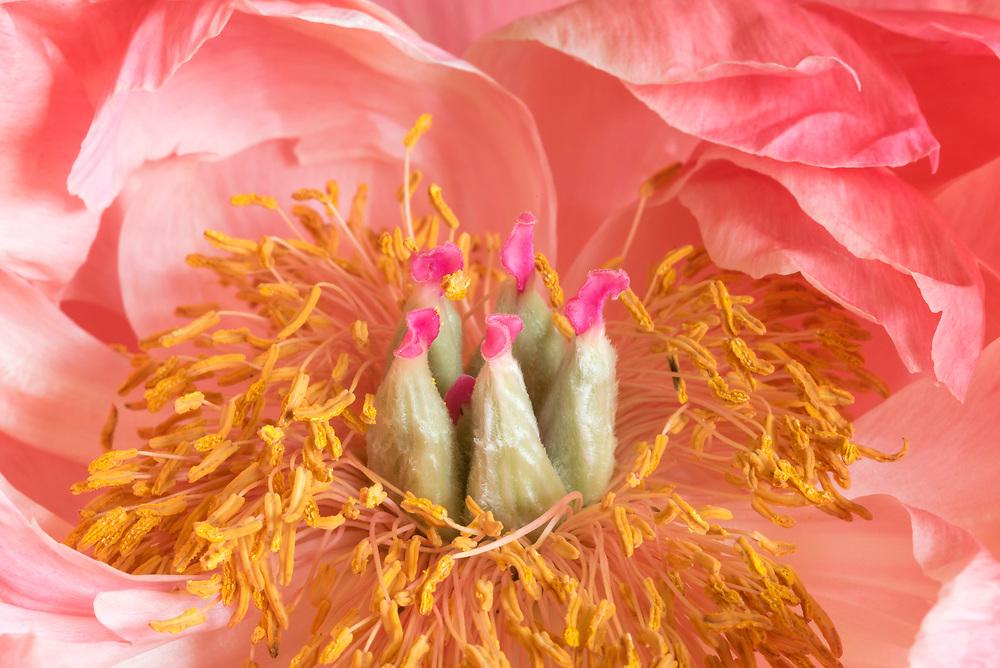 Peony flower detail.