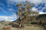 Candlebark Tree, Eucalyptus rubida, Australia