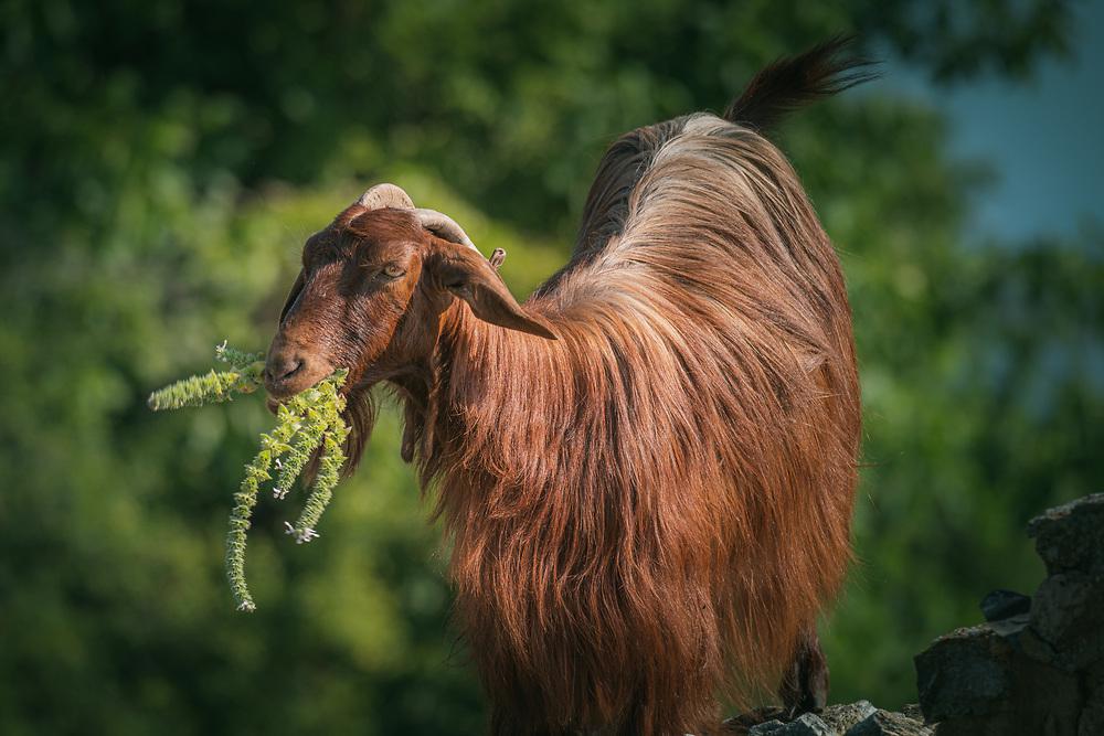 Goat at Agios Achillios island at Prespa Lakes, Greece