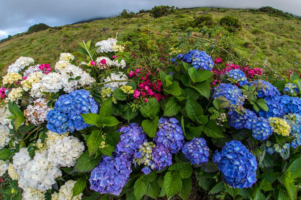 Hortensias aka Hydrangeas decorate the countryside of Pico Island, Azores, Portugal, Northern Atlantic Ocean.