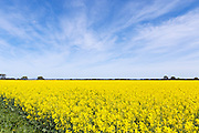 Canola crop in field under cirrus cloud in rural country Victoria, Australia <br />