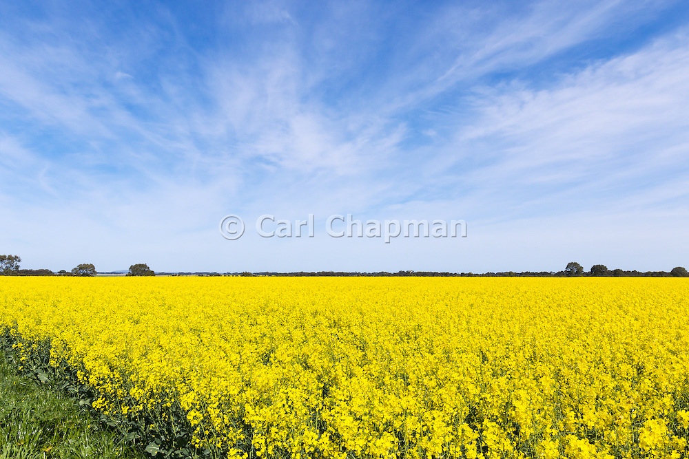 Canola crop in field under cirrus cloud in rural country Victoria, Australia <br /> <br /> Editions:- Open Edition Print / Stock Image