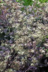 Clematis recta 'Purpurea'  - purple ground clematis