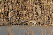 Great bittern (Botaurus stellaris) walking on ice in front of reeds on Noah's Lake at Shapwick Heath, Somerset, showing how well camouflaged they are.