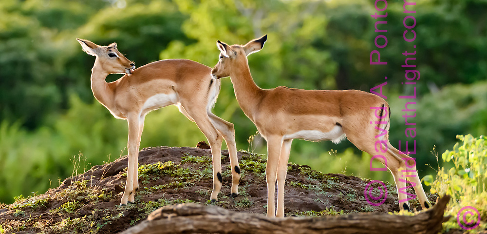 Impala fawns pause and seem to look at each other on an open hummock in forest along the Chobe River, Chobe National Park, Botswana, © David A. Ponton