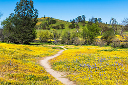 The Primrose Path.  A trail through the wildflowers of spring in the oak studded hills of San Luis Obispo County east of Santa Margarita on the way to the Carrizo Plain.