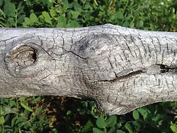 Tree Branch Detail, Castine, Maine, US