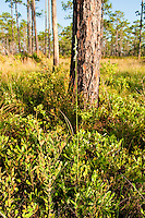 The largest giant ladies'-tresses orchid I've encountered in the wild. This one was photographed on a hot early May,  late afternoon day near Sopchoppy Florida.