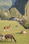 Llamas atop Machu Picchu, Cusco Region, Urubamba Province, Machupicchu District in Peru, South America