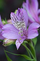 Alstroemeria 'Perfect Blue' - Peruvian lily