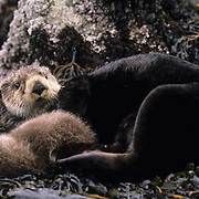 Sea Otter, (Enhydra lutris) Mother curled up on kelp with baby. Aleutian Islands. Alaska.