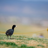 010110       Adron Gardner/Independent<br /> <br /> A duck survey's the putting green at the Coyote Del Malpais Golf Course in Grants Monday.