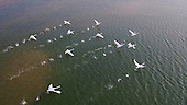 Thousands Of Swans Migrate In Winter